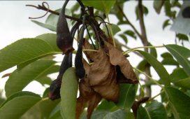 Действия при установяване на нападение по семковите овощни видове