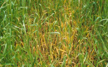Една от най-сериозните причини за намаляване на добива при пшеница е болестта Черното кореново гниене