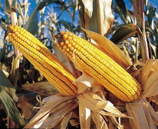 Значителни щети по царевицата нанасят различните видове фузариози