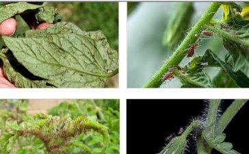 Освен пряката повреда листните въшки пренасят и редица вирусни болести