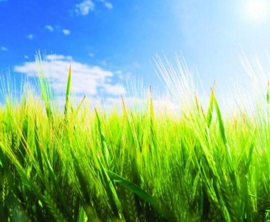 Най-важните гъбни болести по житните култури през пролетта на 2015 година ще са брашнеста мана