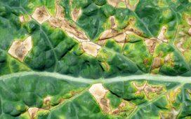 Болестта нанася най- значителни вреди по цветоносите