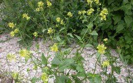Синапа е едногодишен ранно-пролетен плевел