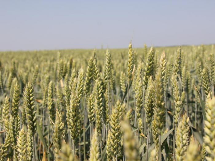 Британските фермери са увеличили посевите със пшеница с 20%