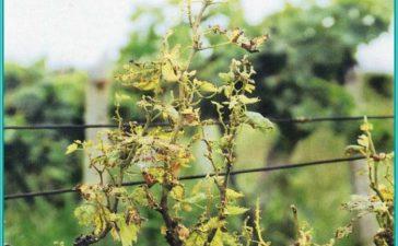 Описание и борба с Еутипиозата по лозата
