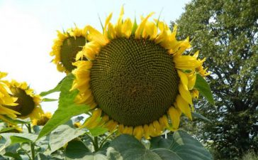 Рекордни добиви от слънчоглед