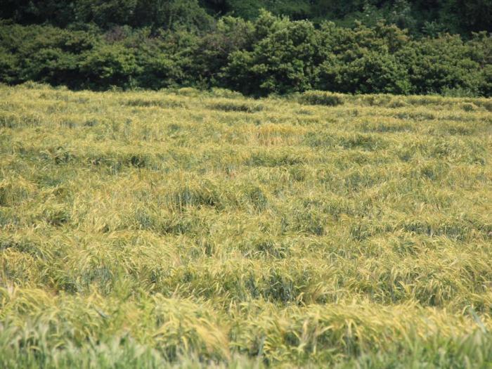 Интензивните валежи предизвикаха преовлажняване на почвите и доведоха до развитието на множество неприятели по земеделските култури