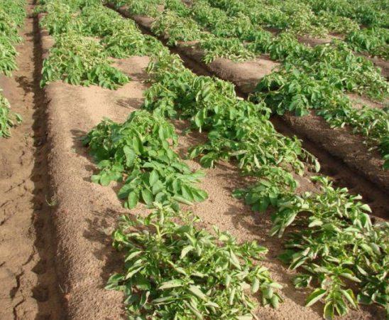 Борба с Листното завиване по картофите