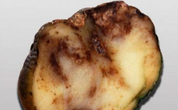 Борба с болестите по време на съхранението на картофите