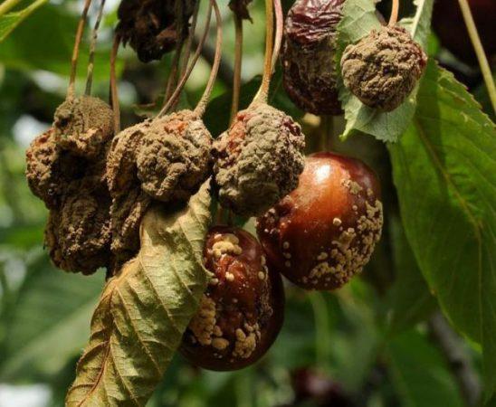 Борба с ранното кафяво гниене - ябълки