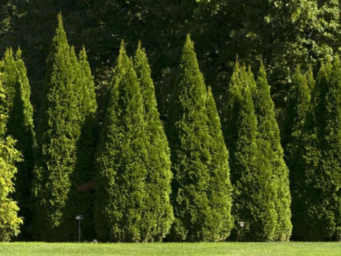 Растението Туя понася засенчване и студ