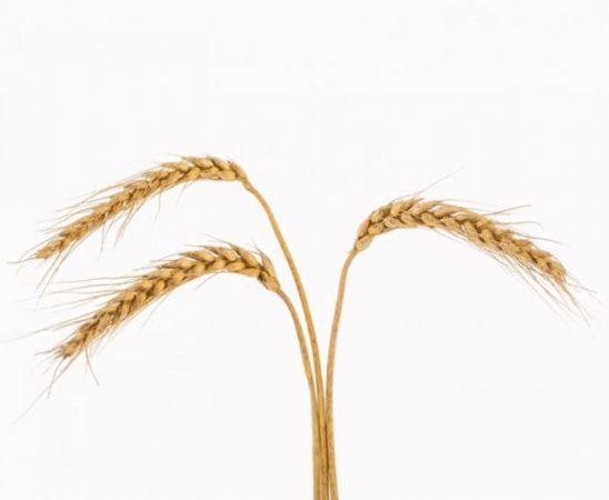 Вижте добивите от полета засяти със семена пшеница от АГРОНОМ