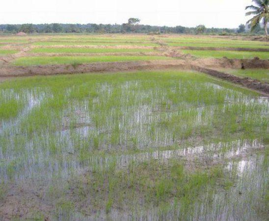 За производство на ориз ще бъдат предоставени общо 250 000 лв