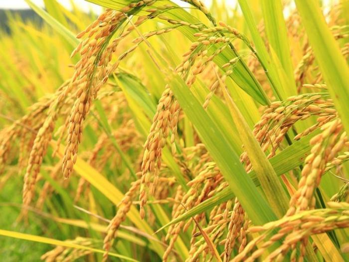 От 21 юли до 8 август 2014 г. производителите на ориз подават заявления по схемата de minimis
