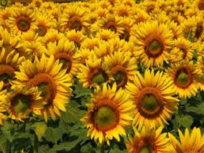 За успешното стартиране на културата важно значение има подготовката на почвата Плевелите са опасни съперници на слънчогледа главно в ранните фази от развитието му