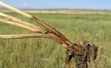 Описание и борба с Фузарийно кореново гниене