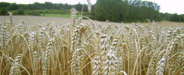 Увеличават се проблемите пред родния зърнопроизводител
