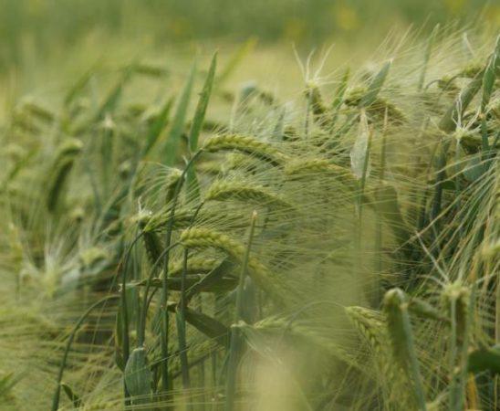 Ретроспекция на развитието на съвременната селекция на пшеницата в България