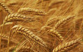 Оценката за зърнената реколта  в Общността е понижена до 296