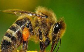 Пчеларите