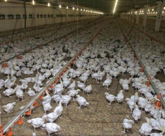 Установени са три огнища на птичи грип в областите  Видин