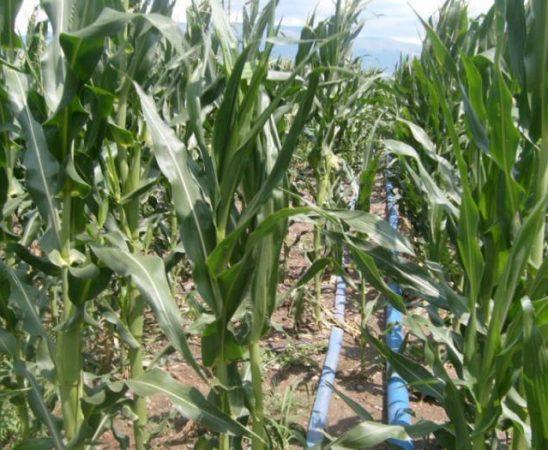 Торене на царевицата
