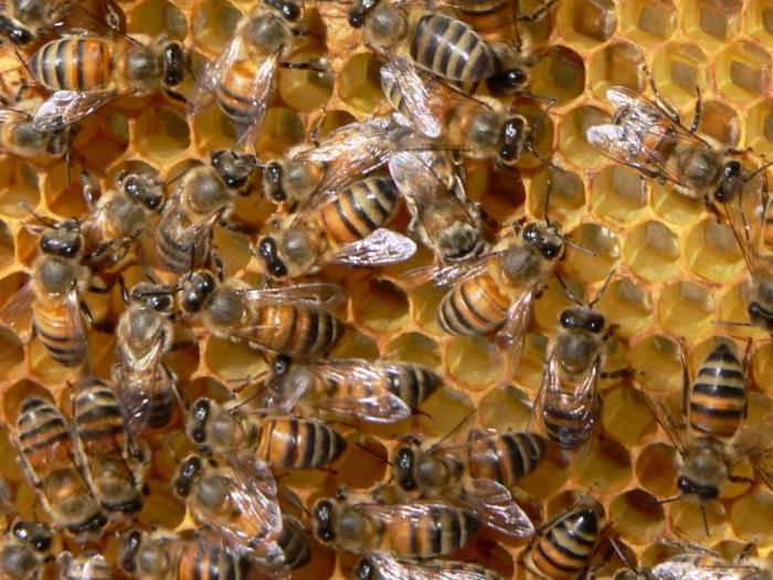 На 17 ноември 2014 г. започва приемът за Кампания 2015 г. по Националната програма по пчеларство (НПП) 2014-2016 г