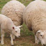 Първа изложба в областта на овцевъдството