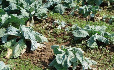 Причинител на гушата по зелето е Plasmodiophora brassicae Woronin