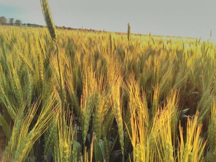 Очакват се по-слаби средни добиви от царевица и пролетен ечемик