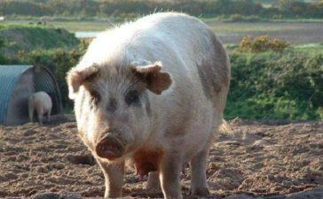 Европейската Комисия е потвърдила отпускането на 20 млн. лева за свиневъдство и птицевъдство в България.