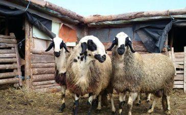 """12 овце починаха от """"син език"""" в Мугла"""