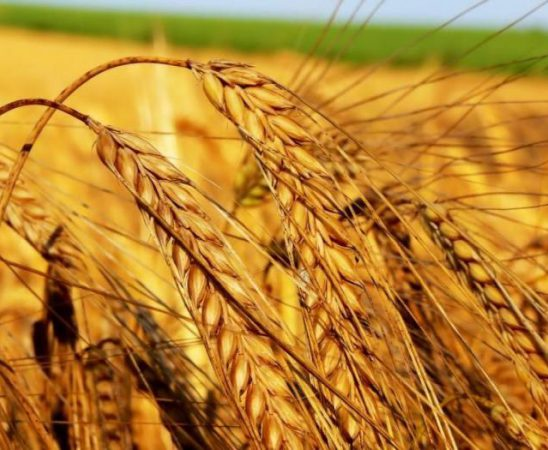 Очаква се реколтата от пшеница да бъде около 3