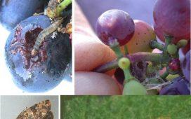 Описание и борба с шарения гроздов молец