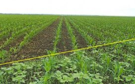 ЕЛУМИС ОД осигурява високонадежден контрол на икономически важните едногодишни и многогодишни житни плевели (вкл. балур от коренища) и широколистни  плевели