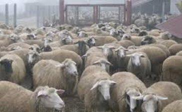 Изложба на Бели и Вакли Маришки овце 20 октомври в Пловдивското село Избеглии Сдружение за Отглеждане и Развъждане на Маришките овце Ви кани на VII-ма Есенна изложба на Бели и Вакли Маришки овце 20 октомври в Пловдивското село Избеглии.