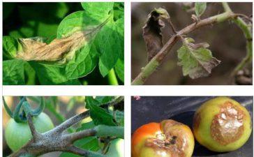 Симптоми и борба с маната по доматите