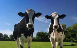 Броят на кравите в ЕС ще отбележи спад за пръв път от 4 г. насам
