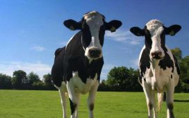 Най-голямо увеличение има в броя на отглежданите биволи и месодайните крави