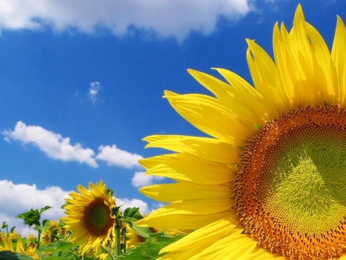 В последните години  слънчогледовите площи бързо нарастват