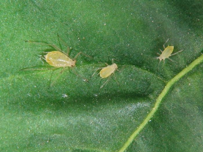 Листните въшки засягат доматите пряко чрез повреди при хранене или непряко чрез пренасяне на вируси