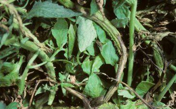 Някои видове от родаPythiumзаразяват доматовите растения по време на техните ранни фази на растеж