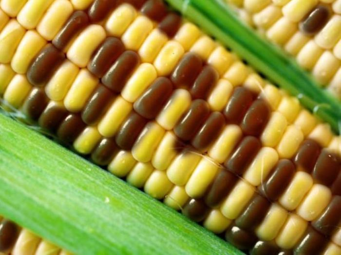 Разрешиха отново употребата на царевица MON 610