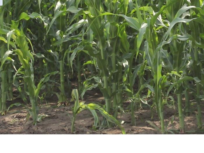 Призив Европейската комисия да преразгледа проекта си на решение за разрешаване на отглеждането на територията на ЕС на генно модифицирана царевица