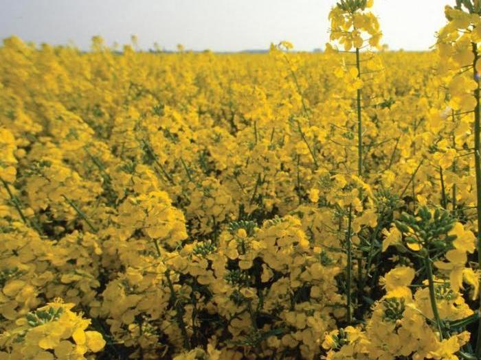 Анализаторите очакват ръст в обработваемите площи с маслодайни култури
