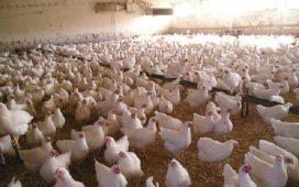 Птиците ще бъдат умъртвени заради икономическата вреда от болестта