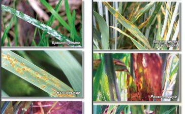 ЗОКСИС 250 СК – Нов фунгицид от Ариста ЛайфСайънс за контрол на най-важните болести при зърено-житни култури