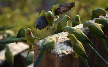 Папагали наркомани тероризират индийски фермериа