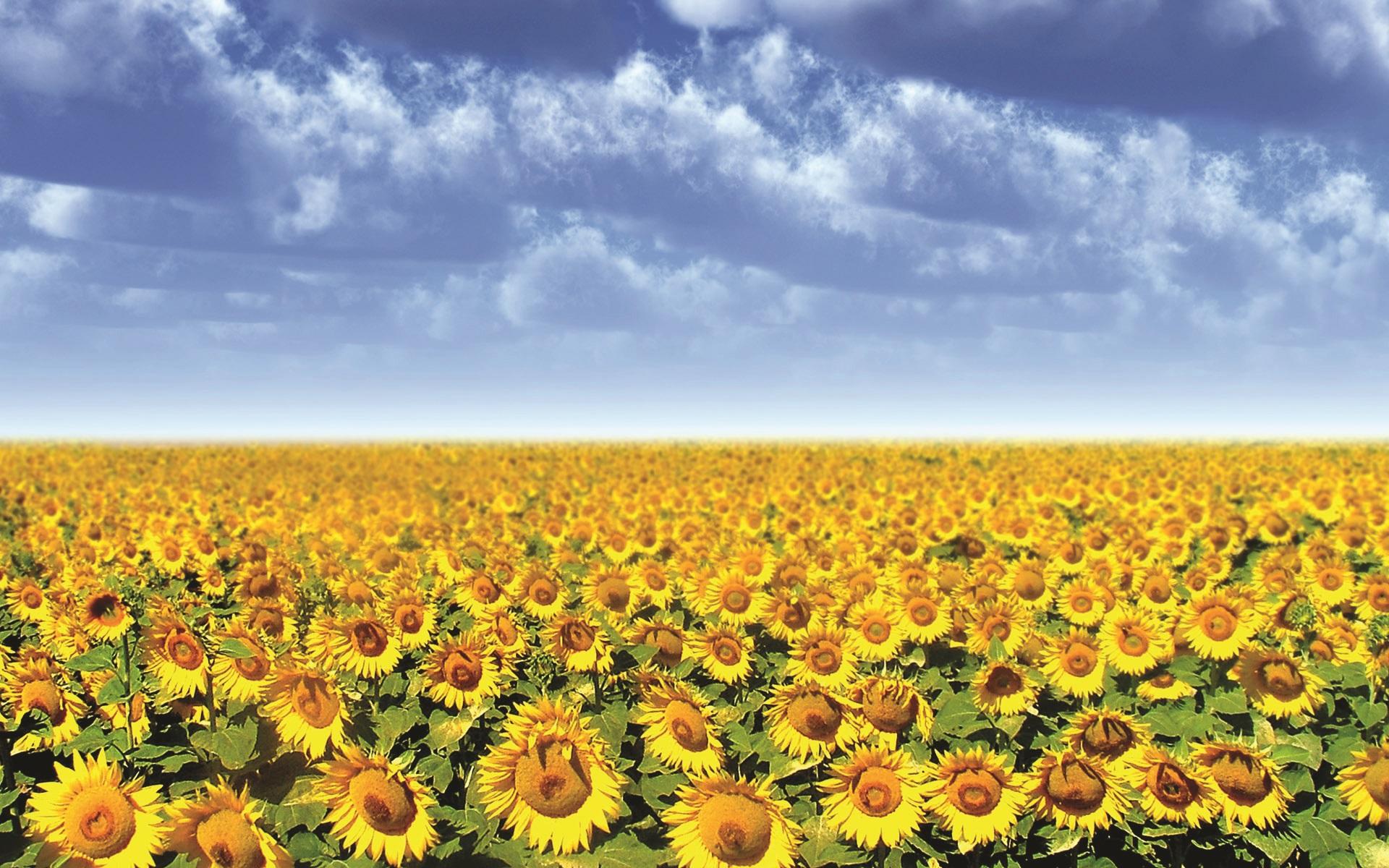 Торене на слънчоглед през пролетта