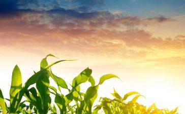 Торене на царевица през пролетта